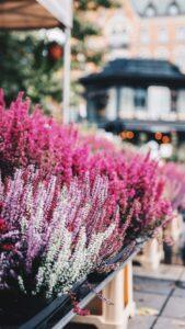 lavender blommor i centrala stockholm