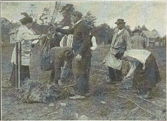 träd utlämnas i Alvik 1916