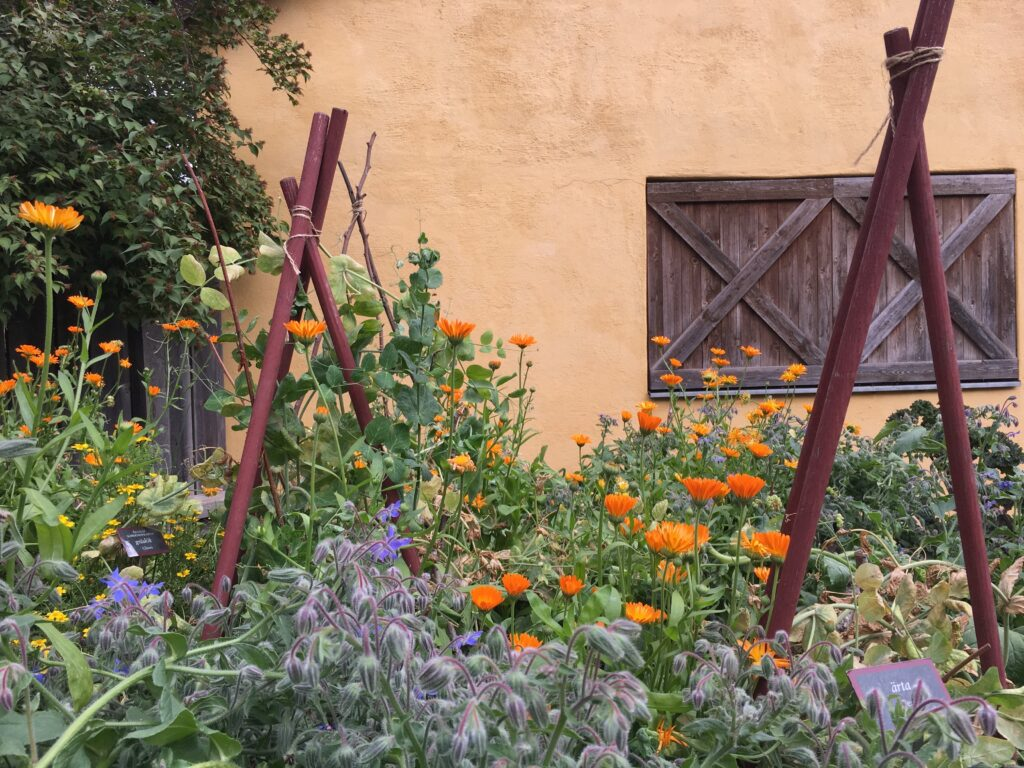 vasaträdgården gurkört ringblomma ärtor_1150